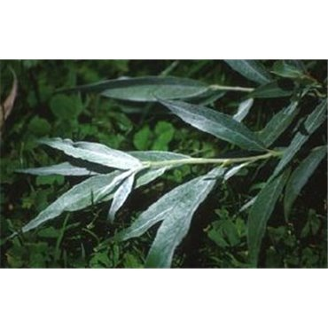 Salix alba Sericea (saule blanc royal)