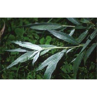 Salix alba Sericea ( Silberweide, Weissweide )