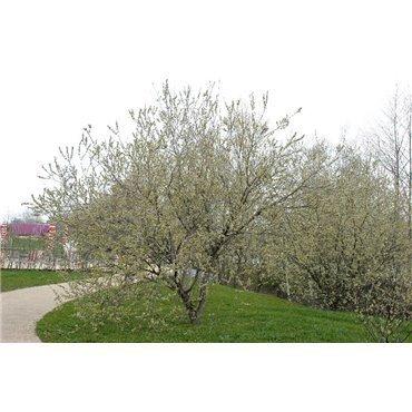 Salix caprea ( Sal-Weide )