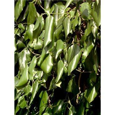 Hedera colchica ( Kaukasus-Efeu )