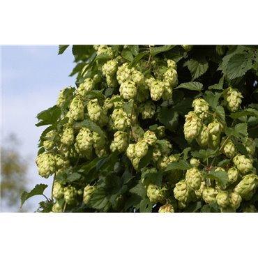 Humulus lupulus (houblon) *