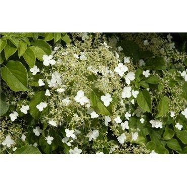 Hydrangea anomala ssp petiolaris ( Kletterhortensie )