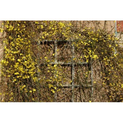 Jasminum nudiflorum ( Winterjasmin )