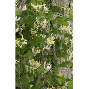 Lonicera caprifolium ( Geissblatt )