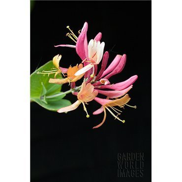 Lonicera heckrotii American Beauty (chèvrefeuille)