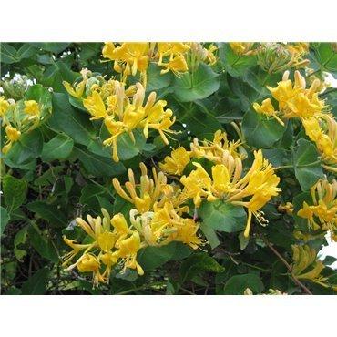 Lonicera tellmaniana ( Goldgeissblatt )