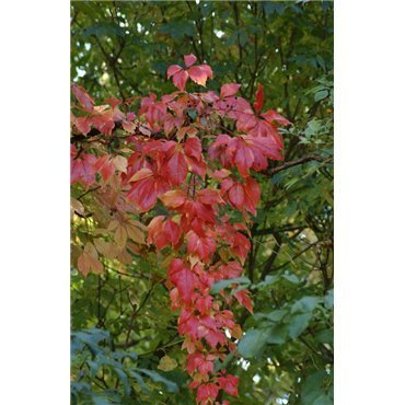 Parthenocissus quinquefolia ( Scheinrebe, Wilder Wein )