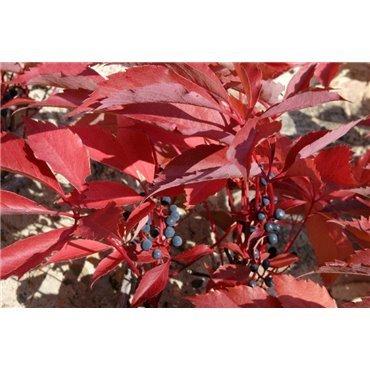 Parthenocissus quinquefolia Engelmannii ( Scheinrebe, Wilder Wein )