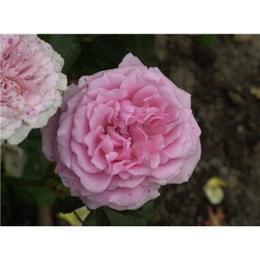 Rosier polyantha et floribunda Carol (R)