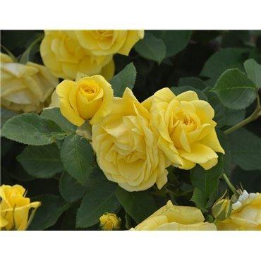 Rosier polyantha et floribunda Carte d'Or (R)