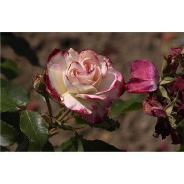 Rosier polyantha et floribunda Jubilé du Prince de Monaco (R)