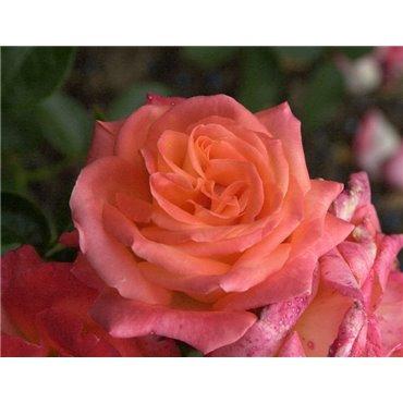 Rosier polyantha et floribunda Jura (R)