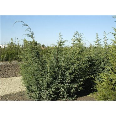 Juniperus chinensis  Blue Alps ( Wacholder )