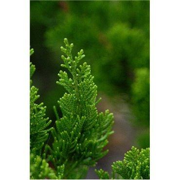 Juniperus chinensis  Kaizuka ( Wacholder )