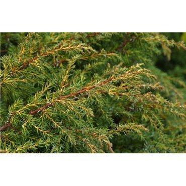 Juniperus chinensis Plumosa Aurea (genévrier)