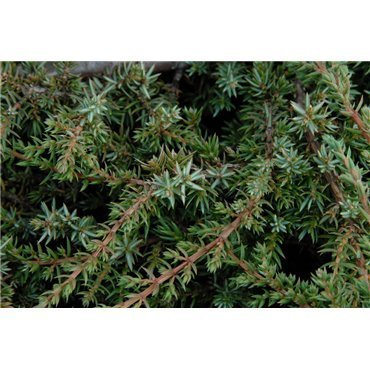 Juniperus communis Green Carpet ( Wacholder )