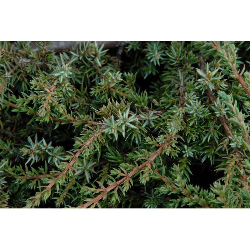 Juniperus communis Green Carpet ( Wacholder )