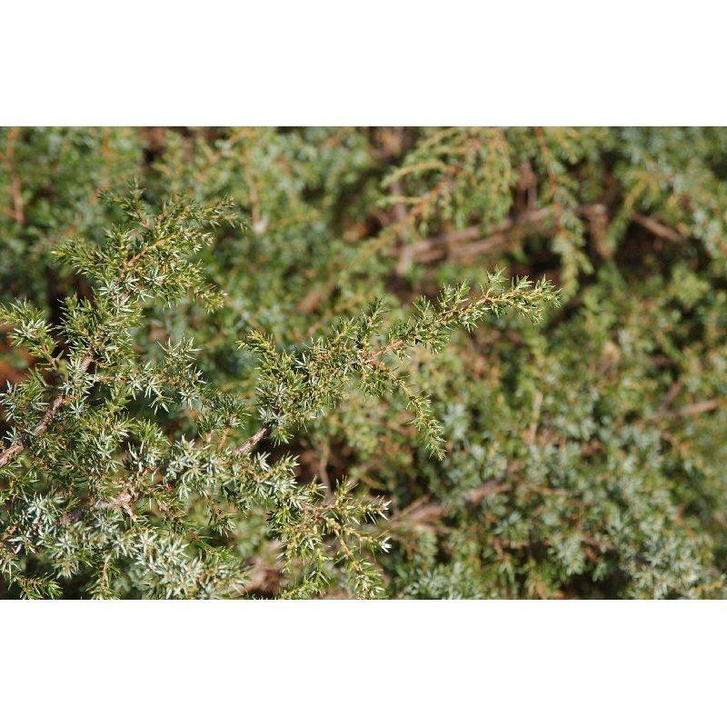 Juniperus communis Repanda ( Wacholder )