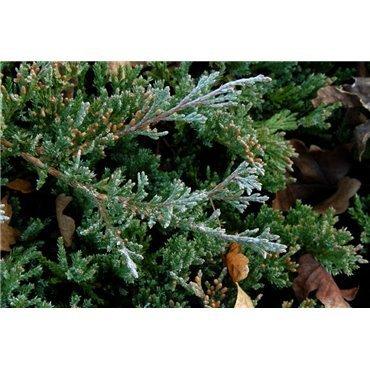 Juniperus horizontalis Blue Chip ( Wacholder )