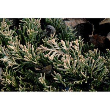 Juniperus horizontalis Golden Carpet (genévrier)