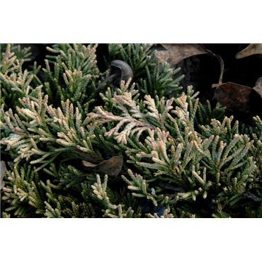 Juniperus horizontalis Golden Carpet ( Wacholder )