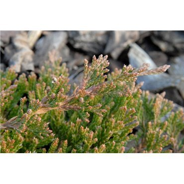Juniperus horizontalis Prince of Wales (genévrier)