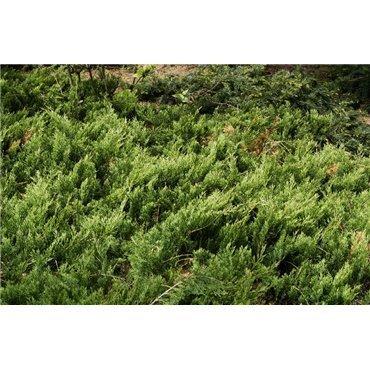 Juniperus horizontalis Wiltonii (genévrier)