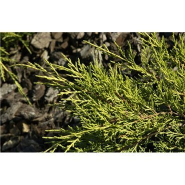 Juniperus media Gold Coast (genévrier)