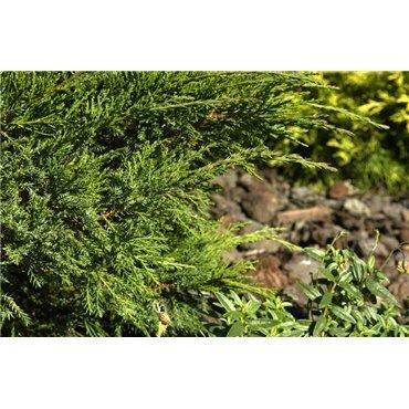 Juniperus media Mint Julep (genévrier)