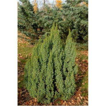 Juniperus pingii Loderi (genévrier)
