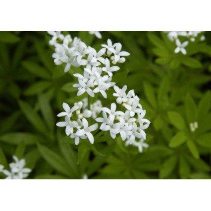 Galium odoratum (aspérule)