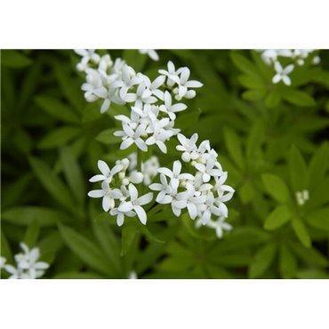 Galium odoratum ( Echter Waldmeister )