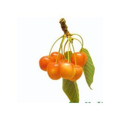 Cerisier Blanche de Lyon *