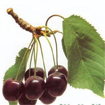 Cerisier Schüttler *