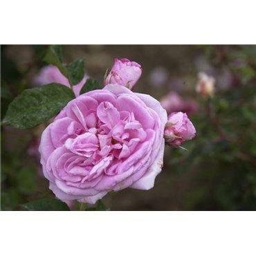 Rosier arbuste Gertrude Jekyll (R)