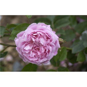 Strauchrose Mary Rose (R)