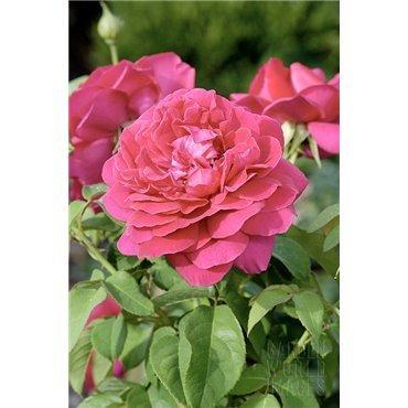 Rosier arbuste The Dark Lady (R)