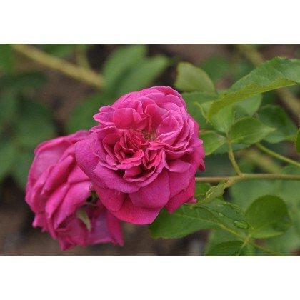 Rosier arbuste William Sakespeare (R)
