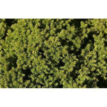 Cryptomeria japonica Vilmoriniana ( Sicheltanne )