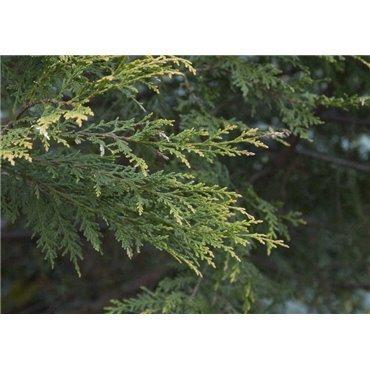 Cupressocyparis leylandii  Castlewelan Gold ( Leylands Zypresse )