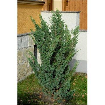 Juniperus chinensis Blaauw ( Wacholder )