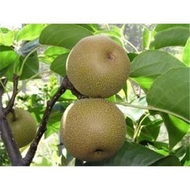 Nashi Hosui ( chinesische Birne, Apfel X Birne )