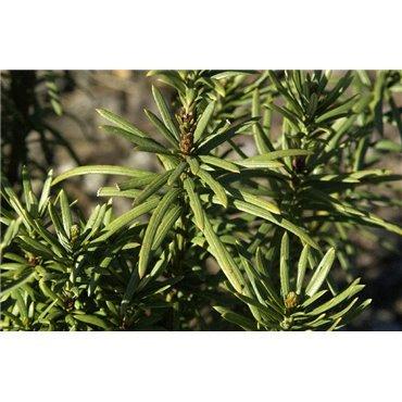 Cephalotaxus harringtonia Fastigiata ( Säulenkopfeibe )