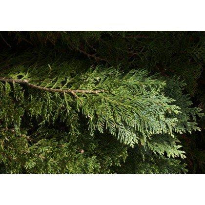 Chamaecyparis lawsoniana Columnaris (Faux cyprès)
