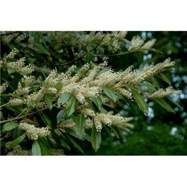 Prunus laurocerassus Otto Luyken ( breitblätteriger Kirschlorbeer )