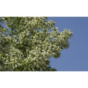 Prunus padus(merisier à grappes) *