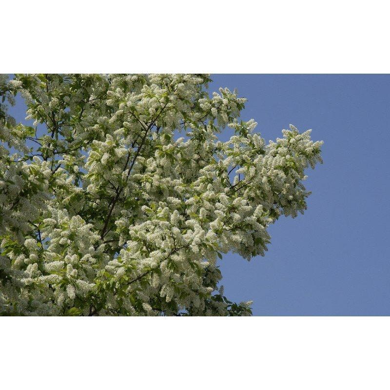Prunus padus( Traubenkirsche )