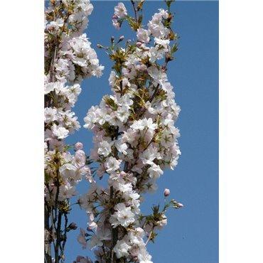 Prunus serrulata Amanogawa (cerisier d'ornement, cerisier à fleurs) *