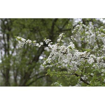 Prunus spinosa  (Schlehe, Schwarzdorn )
