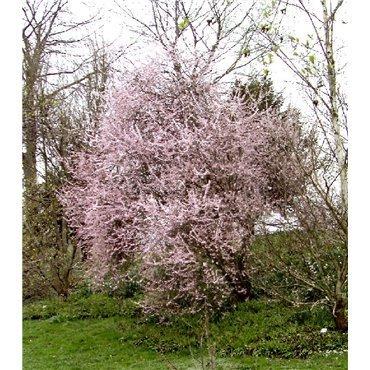 Prunus spinosa Purpurea ( Schlehe, Schwarzdorn )
